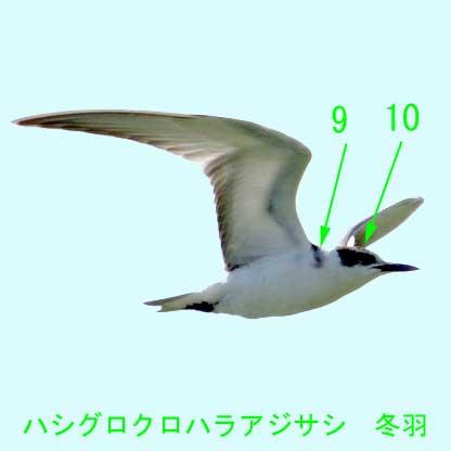ハシグロクロハラアジサシ