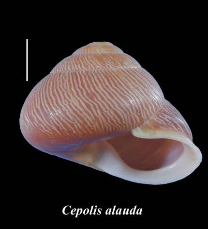 Cepolis Alauda Ferussac 1821