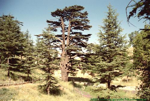 画像  中東レバノン 上質なレバノン杉とエキゾチックな美女の国