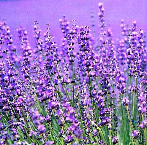 Lavendercommon01
