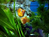 オレンジバルーン夫妻