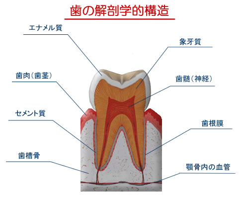 「歯 解剖」の画像検索結果