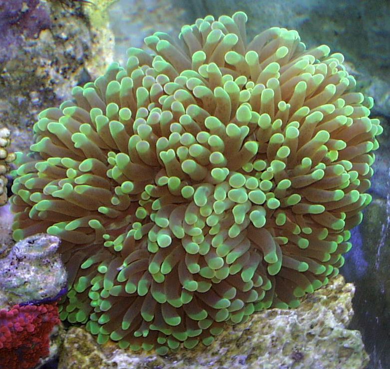 Nano recif 30l en cours aquarium eau de mer coraux for Poisson aquarium 30l