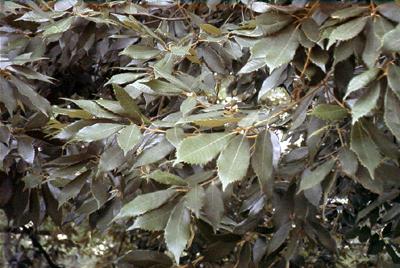 イチイガシ  Quercus  gilva