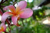 コタキナバルの花々