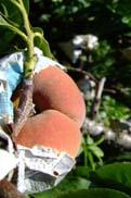 陽山の水蜜桃:クリックで拡大
