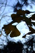 公孫樹の葉:クリックで拡大