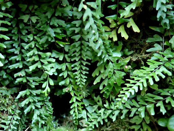 植物 シダ
