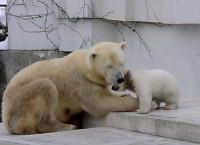 円山動物園公開時のツヨシ1