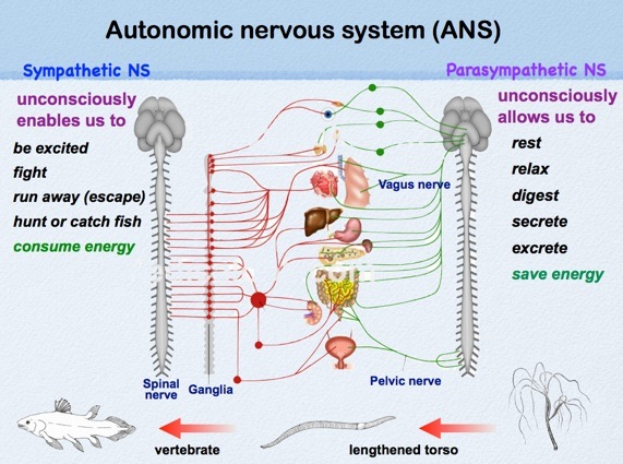 sympathetic nervous system and parasympathetic nervous system pdf