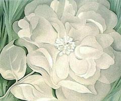 白いキャラコの花