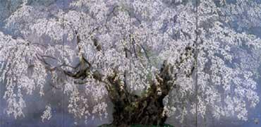 坪井の枝垂桜