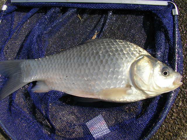 西加茂郡三好町野池でヘラブナを釣る。
